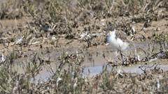 DSC08557 (slackest2) Tags: bird aldinga bay washpool button road sellicks beach scrub water masked lapwing