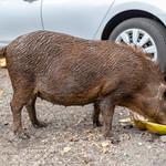 Pig eating Coconut on Road to Hana Maui Hawaii thumbnail