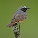799A7434 redstart (Jerry OB) Tags: phoenicurusphoenicurus commonredstart bird perch mossybranch
