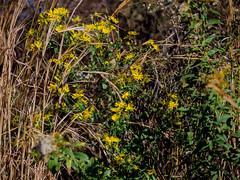 Thanksgiving wildflowers (cizauskas) Tags: flower bloom blossom autumn park urbanpark trail beltline oldfourthward yellow atlanta georgia