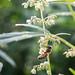 Biene im Hanffeld
