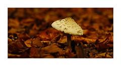 --- Solitary --- (~Scimo~) Tags: herbst pilz laub natur sony rx10 zeiss autumn leaf mushroom nature bokeh macro makro dof outdoor scimo