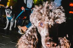 (amira_a) Tags: street haircut dogs fujifilm x100s poodle siberianhusky flashstreetphotography