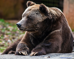 No Lions, No Tigers, but bears! Oh my! (Miracle Man) Tags: nikond750 nczoo grizzly brownbear mammal fauna wildlife zoo