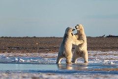 Dominance Dancing *in explore* (Glatz Nature Photography) Tags: nikond850 inexplore alaska animal arctic arcticalaska barterisland bear eyelevelview glatznaturephotography kaktovik mammal nanook nanuk nanuq nature northamerica northslope polarbear ursusmaritimus wildanimal wildlife