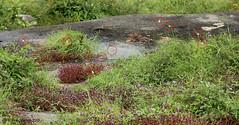 IMG_7369 Herbal Vegetation of the Island of Roume (Raiwen) Tags: euremabrigitta eurema pieridae coliadinae butterflies lepidoptera island roume basseguinée guinea westafrica africa