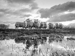 Sheep crop 4/3 (Drummerdelight) Tags: sheep blackwhite bw lowpov