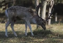 D81_13914 (charlesvanlangeveld) Tags: thenetherlands damadama amsterdamsewaterleidingduinen awd duinen fallowdeer animal stag grass mammal tree dear