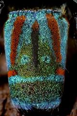 Detail from Maratus Volans - Peacock Spider (SuzieAndJim) Tags: colour color green red volans maratus peacockspider naturephotography nature spider insects macro closeup suzieandjim