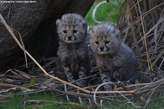 Two cheetah cubs - Allwetterzoo munster (Mandenno photography) Tags: nature ngc duitsland germany cats cubs cheetah munster alwetterzoomunster allwetterzoo zoo dierentuin dieren