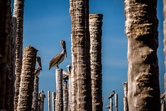 Birds on Stickes (Globalbirder) Tags: mexico campeche carbbeansea travelphotography pictravelvacationfernwehgulfofmexiconatureyucatan