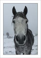 Rencontre dans la brume (Francis =Photography=) Tags: europa europe france grandest lorraine vosges 88 chevaux brume horse mist rencontre encounter meet lehautdutôt cheval