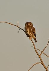 Pearl-Spotted Owl (Rob Keulemans) Tags: krugernationalpark 2018 september birds prey owls wild