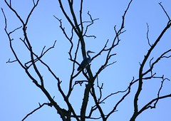 Grey Heron Silhouette (chdphd) Tags: aberdeenshire kincardineshire stonehaven ardeacinerea ardea