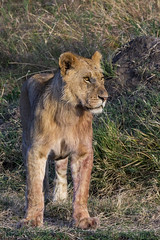 Big Cats on the Mara (johnrobjones) Tags: beyond animal animals cnp cnpsafaris kenya kichwatemba mara masai masaimara safari africa mammals nature river wildlife lion male cub cat