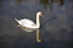 Swan (Hugo von Schreck) Tags: hugovonschreck bird vogel swan schwan tamron28300mmf3563divcpzda010 canoneos5dsr