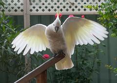 Sulphur Crested Cockatoos (PhotosbyDi) Tags: sulphurcrestedcockatoos australianwhitecockatoo cockatoo bird australia panasonicfz300 panasoniclumix lumixfz300