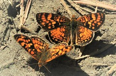 Field Crescent (vs. California Crescent) butterflies on the trail at Paige Meadows. (Ruby 2417) Tags: crescent butterfly insect wildlife nature orange paige meadows tahoe california