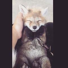 @everythingfox September 15 2018 at 01:02PM (hellfireassault) Tags: foxes everythingfox september 15 2018 0102pm fantasticfoxes november 13 0448am