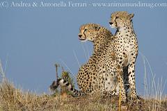 Cheetah Acinonyx jubatus (AnimaMundiMagazine) Tags: winner cheetah acinonyxjubatus predator hunter felid masaimara cat kenya africa