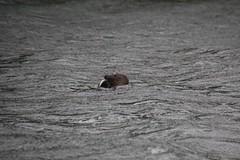Grey Seal eating fish (MarBio Abbie) Tags: greyseal atlanticgreyseal seal marine biology marinebiology akwildlifecruise fish predator