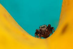 IMG_8620 (komusinmarek) Tags: evarcha arcuata jumpingspider jumping spider arachnidae salticidae skakun greeneyes pyrgun yellow green little cute sweet macro