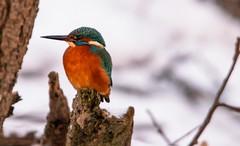 Kingfisher4 (Timo Airaksinen) Tags: kingfisher bird birds sonya99ii tamron150600mm finland suomi nature naturephotography king