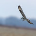 Another Shot of Short-eared Owl (Richard Edwards Photography) Tags: red