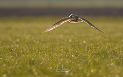 Short-eared owl (fire111) Tags: backlight tegenlicht velduil shorteared owl nature photography uil hunting bird birding wild wildlife