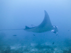 Reflections of the summer past (roger_forster) Tags: mantaray mantabirostris maldives blueotwo fish wild indian ocean cleaningstation