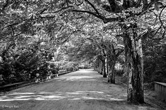 Coordinated Trees (sergionreis) Tags: nature portugal oporto serralves serralvespark parquedeserralves pathway garden bw blackandwhite trees