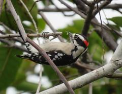 Downy woodpecker (* Zephyr *) Tags: wakodahatcheewetlands delraybeach florida birds downywoodpecker