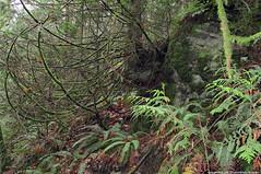 2018-11-25 Whistle Lake Trail 20 (01) (1024x680) (-jon) Tags: anacortes skagitcounty skagit washingtonstate washington salishsea fidalgoisland sanjuanislands hike hiking walk walking woods forest pnw pacificnorthwest whistlelake trail anacortescommunityforestlands acfl trail20 leaves fall tree color colour a266122photographyproduction canonpowershotelph180