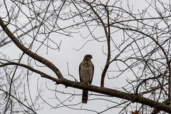 "arcadia2018-454 (gtxjimmy) Tags: hawk""redtailedhawk"" nikond7500 nikon d7500 tamron 150600mm arcadiawildlifesanctuary massaudubon audubonsociety audubon massachusetts easthampton fall autumn birdofprey raptor bird"