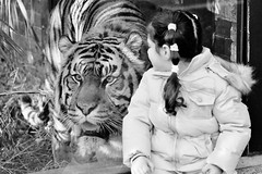 """Here Kitty Kitty....."" (markwilkins64) Tags: london londonzoo tiger wildlife mono monochrome blackandwhite bw street streetphotography candid markwilkins"