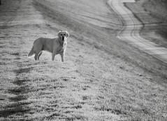 SaS. (Omroep Zeeland) Tags: hond dog weg road perro ijzig grijs vorst zeeland nederland panasonic lumix