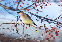 Cedar Waxwing (Bombycilla cedrorum) (Kremlken) Tags: waxwings passeriformes northwestpennsylvania winter berries trees birds birding birdwatching nikon500