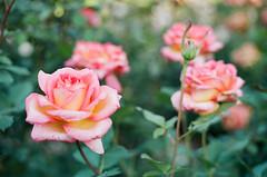 International Rose Test Garden (Travis Estell) Tags: internationalrosetestgarden oregon portland rosegarden portra160 oregononfilm canonae1 thedarkroomlab 35mmfilm kodakportra160 portlandonfilm roses flowers