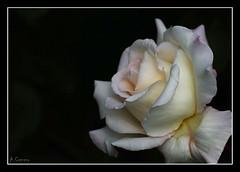 Composición de una rosa (antoniocamero21) Tags: composición flor rosa color foto sony fondo marco naturaleza vegetal