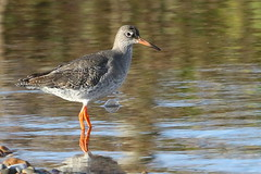 Redshank-7D2_0560-001 (cherrytree54) Tags: redshank rye harbour east sussex canon sigma 7d 150600