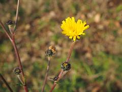 Crispigni (erasmovona) Tags: fiori macro natura autunno outside