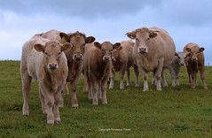 Herd of Cows-Bos taurus.  England. Uk (PANDOOZY PHOTOS) Tags: cattle cows group farm farming agriculture farmland livestock closeup portrait cow young animal animals mammal mammals field cute herd inquisitive southdowns southdownsnationalpark greatbritain unitedkingdom uk gb gang breed female male bull calf heifer autumn october 2018 bovidae bovinae bostaurus beefcattle disambiguation mob drift drove curious britishcountryside englishcountryside countryside