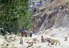 18 2484 - Pérou, troupeau sur le circuit (Jean-Pierre Ossorio) Tags: pérou randonnée chemin sentier montagne troupeau animaux mouton cheval cavalier