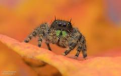 Bold Jumping Spider - Phidippus audax (salmoteb@rogers.com) Tags: macro closeup bold jumping spider phidippus audax fall color nikon 105mm raynox d850 ontario canada toronto wildlife animal
