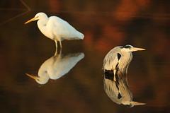 Heron and egret (Teruhide Tomori) Tags: nature bird wild kyoto japan japon hirosawanoike pond winter animal greyheron アオサギ 野鳥 広沢池 京都 冬 鳥 動物 野生 日本 greategret ダイサギ