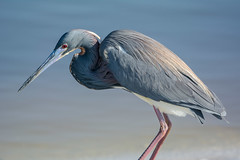 New colors (ChicagoBob46) Tags: tricoloredheron heron bird jndingdarlingnwr florida sanibel sanibelisland nature wildlife coth5 naturethroughthelens ngc npc