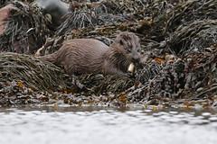 Eurasian Otter ( Lutra lutra ) (Ally.Kemp) Tags: otters otter isle mull scotland scottish wildlife lutra wild eurasian
