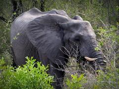 Struggling through the forest (__ PeterCH51 __) Tags: elephant animal wildanimal krugernationalpark krugerpark kruegerpark nationalpark mpumalanga southafrica za peterch51
