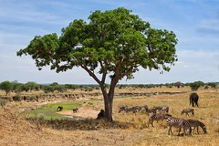 Eden (u c c r o w) Tags: elephant tarangire national park tanzania africa savanna nature outdoor zebra animal tree wild wildlife uccrow african outside green water landscape safari
