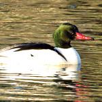 Common Merganser_male thumbnail